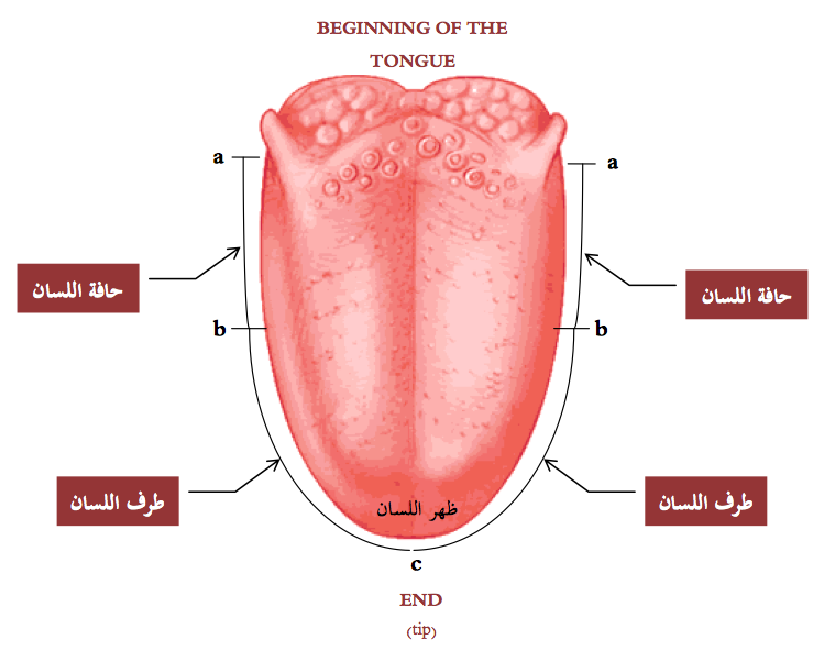 Human Tongue Diagram